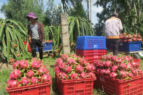 Giá thanh long tại vườn ở Bình Thuận tăng gần gấp đôi. Ảnh: Tư Huynh