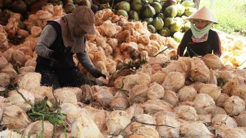 Giá dừa khô giảm mạnh. Ảnh minh họa