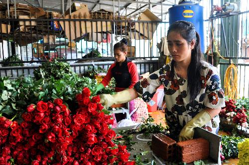 Người dân đang phân loại, đóng hộp hoa hồng chuyển về các tỉnh