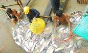 Nhiều doanh nghiệp cá tra hoãn đơn hàng vì giá nguyên liệu tăng