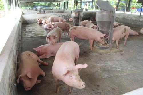 Đàn lợn được nuôi chờ bán.