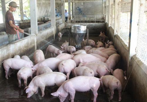 C.P Việt Nam bắt tay nông dân chăn nuôi heo theo chuỗi khép kín - ảnh 1