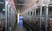 C.P Việt Nam bắt tay nông dân chăn nuôi heo theo chuỗi khép kín