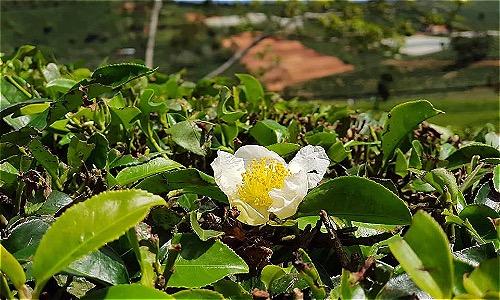 Chè nở hoa ở trang trại Cầu Đất - Đà Lạt. Ảnh: MD