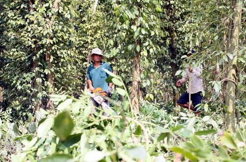 Người dân Đồng Nai ồ ạt chặt tiêu để trồng cây trồng khác tại huyện Trảng Bom. Ảnh: Thái Hà