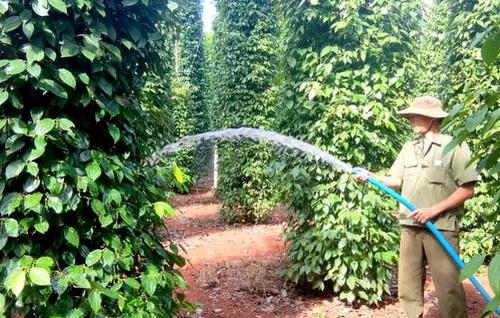 Nông dân huyện Châu Đức, Bà Rịa - Vũng Tàu chăm sóc vườn tiêu chờ thu hoạch. Ảnh: Nguyễn Khoa