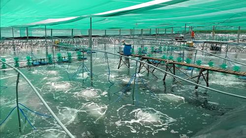 Trang trại nuôi tôm thẻ chân trắng theo mô hình CPF Combine của anh Lưu Phước Thành (huyện Đông Hải, tỉnh Bạc Liêu)