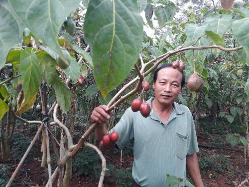Trái cà chua thân gỗ ở Lâm Đồng đang chịu cảnh ếm ẩm. Ảnh: Quốc Dũng