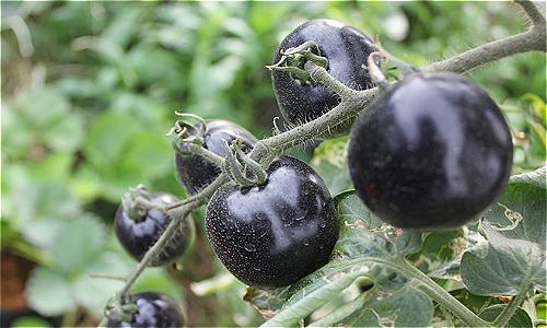 Cà chua đen một thời không có hàng để bán nhưng nay ít khách mua.