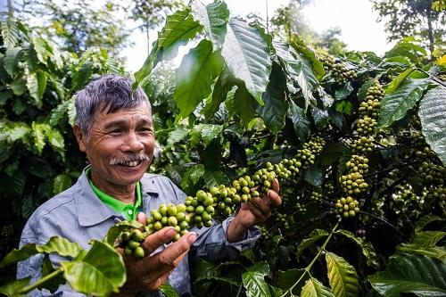 Vườn cà phê của nông dân Trần Văn Mạnh, Tân Xuân, Di Linh, Lâm Đồng đã triển khai theo dự án Better Life Farming.