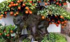 Gần 900 triệu đồng một cây hồng đá cổ thụ chơi Tết