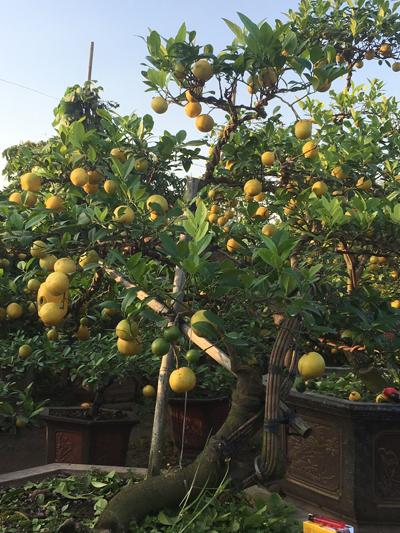 Cây chanh có giá 50 triệu đồng trong vườn nhà anh Hà.