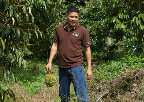 Anh Trung nhặt một quả sầu riêng rụng khi thăm vườn. Ảnh: Viễn Thông