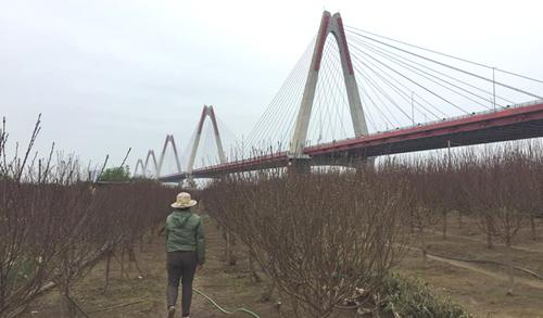 Các nhà vườn Nhật Tân đangbận rộn với việc chăm sóc hoa cũng như tiếp khách đến tận vườn hỏi mua. Ảnh: NT