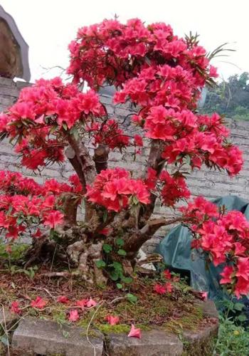 Cây đỗ quyên cổ thụ 300 năm tuổi nở hoa vào năm ngoái. Ảnh: NVCC.