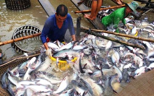 Giá cá tra tăng mạnh ảnh hưởng đến lợi nhuận của Agifish.
