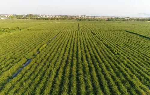 Vùng trồng cà gai leo Tuệ Linh.