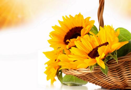Hoa hướng dương tượngtrưng cho ánh mặt trời và nụ cười ấm áp.
