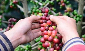 Arabica - đánh thức thương hiệu cà phê đặc sản Việt Nam