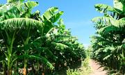 Bầu Đức kỳ vọng mỗi ngày vườn chuối mang về 10 tỷ đồng