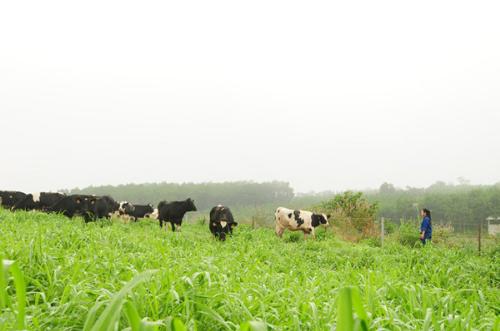 Đàn bò sữa hữu cơ - mô hình thể hiện quyết tâm kiến tạo hệ sinh thái thực phẩm sạch, hữu cơ của bà Thái Hương, khởi đầu là rau củ quả, thảo dược và sữa.