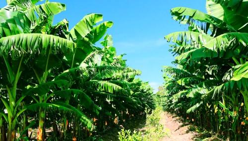 Chuối hiện là cây ăn trái chủ lực mang về doanh thu lớn cho HAGL Agrico.
