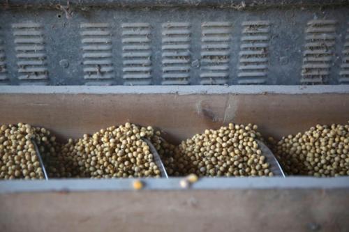 Đậu tương trong một trang trại tại Illinois (Mỹ). Ảnh: Reuters