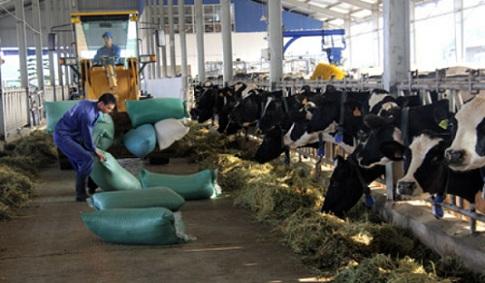 Trang trại bò của Sữa Mộc Châu, công ty do GTNFoods gián tiếp sở hữu 51%.