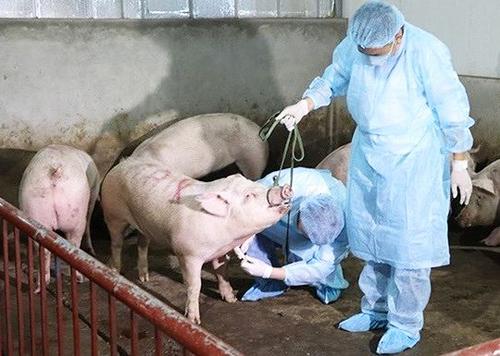 Cán bộ thú y lấy mẫu kiểm tra lợn. Ảnh: PV