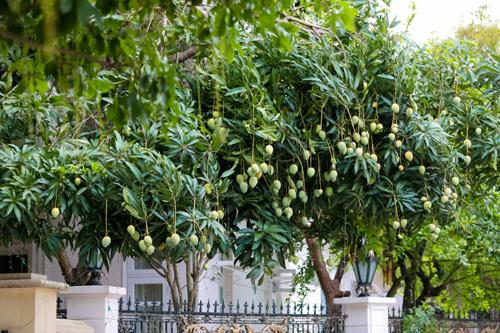 Những cây xoài sai trĩu quả tại khu đô thị Ciputra.