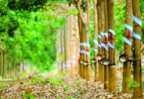 Ban lãnh đạo Tập đoàn Cao su ước tính giá đền bù mỗi hecta đất trong vùng dự án là 600 triệu đồng.