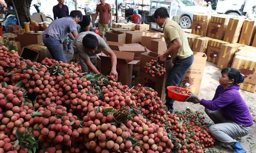 Một điểm cân thu mua vải tại Bắc Giang. Ảnh: Ngọc Thành