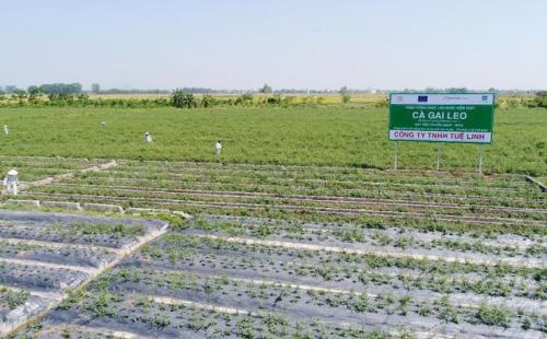 Vùng trồng cà gai leo đạt tiêu chuẩn GACP của Công ty TNHH Tuệ Linh
