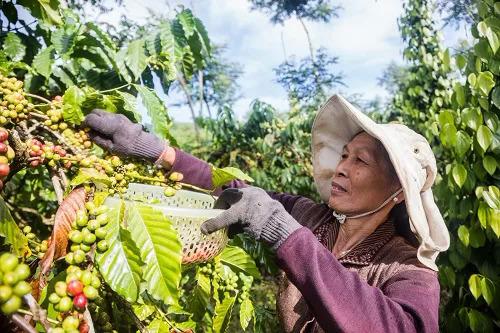 Nông dân huyện Di Linh (Lâm Đồng) thu hoạch cà phê.