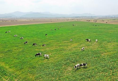 Chăn nuôi bò sữa công nghệ cao là chìa khóa giúp Vinamilk xây dựng lợi thế cạnh tranh với các đối thủ trên thị trường.
