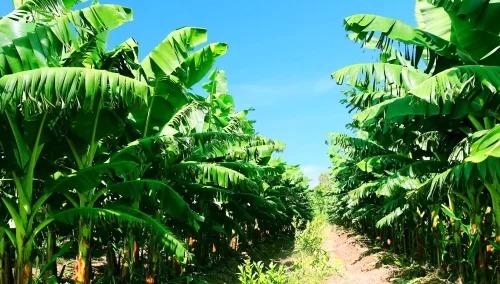 Vườn chuối của Công ty HAGL Agrico.