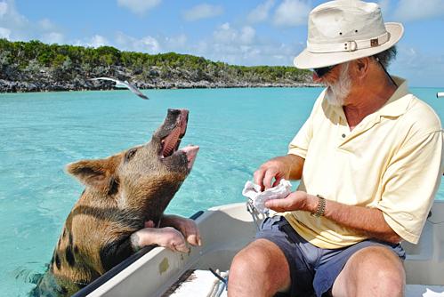 Bahamas, nơi nổi tiếng với đàn lợn biết bơi, là điểm đến hàng đầu bằng máy bay riêng của giới siêu giàu nước Mỹ và thế giới. Ảnh: Pixabay