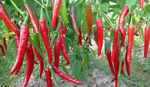 Kết quả hình ảnh cho Tôm và ớt Việt xuất sang Úc bị phát hiện có chất cấm