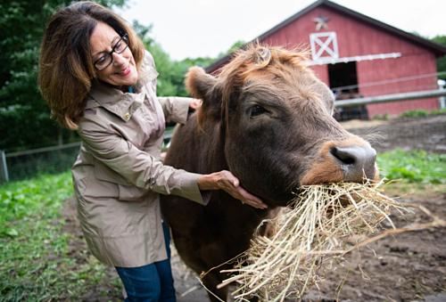Một con bò dùng để cho khách vuốt ve tại Mountain Horse Farm.
