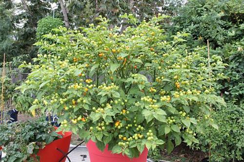 Giống ớt charapita được trồng ở Việt Nam.