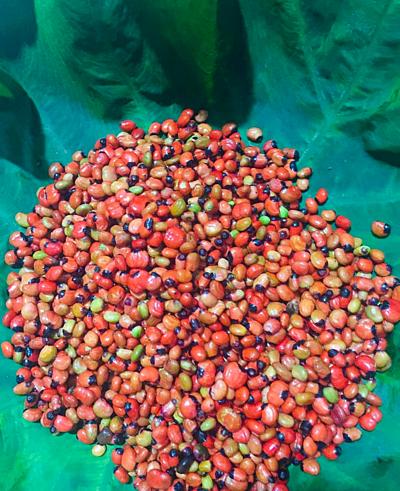 Hạt sâm Ngọc Linhsau khi thu hoạch.