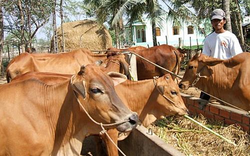 Giá bò tăng cao