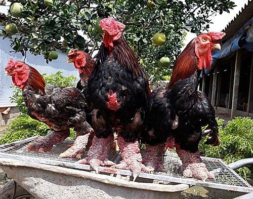 Những con gà Đông Tảo có bộ chân to. Ảnh: Anh Nghĩa.