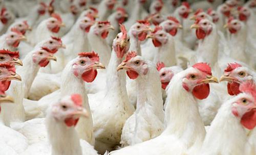 Giá gà hơi lông trắng chỉ ở mức 11.000 -13.000 đồng một kg. Ảnh: Dreamfeed