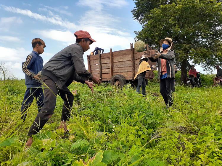 Nông dân thu hoạch bí đỏ ở xã Ia Phang. Ảnh: Trần Hóa