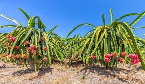 Thanh long là một trong những đặc sản nông nghiệp của Bình Thuận.