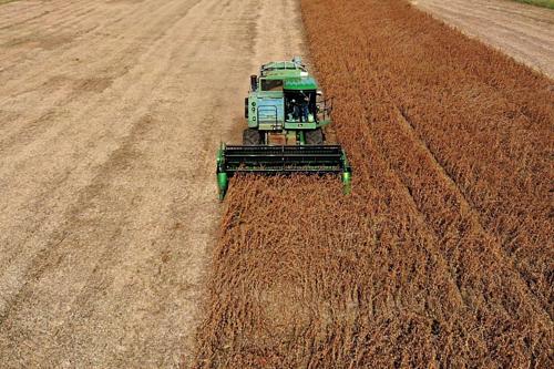 Nông dân Mỹ đang thu hoạch đậu tương tại Maryland. Ảnh: AFP