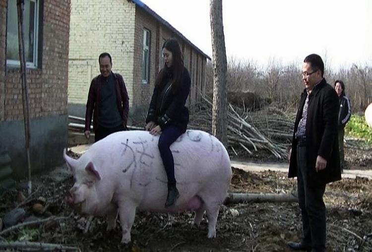 Một du khách cưỡi lên con lợn nặng 750kg tại trang trại thuộc thành phố Trịnh Châu. Ảnh: AFP