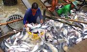 Mỹ giảm thuế bán phá giá cá tra Việt Nam