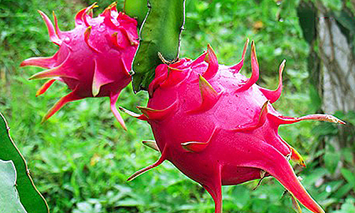 Thanh long ruột đỏ tại vườn ở Tiền Giang. Ảnh: TGCG.
